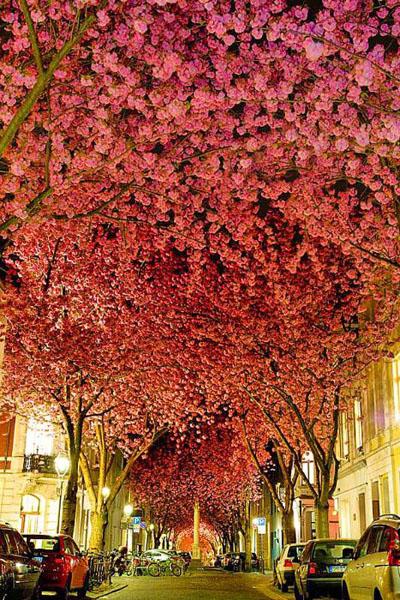 деревья японской вишни, или сакуры