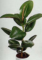 Фикусы. Это одно из самых распространенных комнатных растений ...