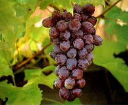 ...темы виноградарства,плодовых культур и. виноград волгоградский.