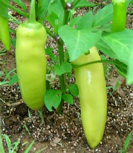 Перец сладкий. Capsicum annuum var. grossum. Перец болгарский