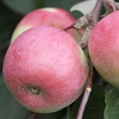 Отличник Свердловские сорта яблонь