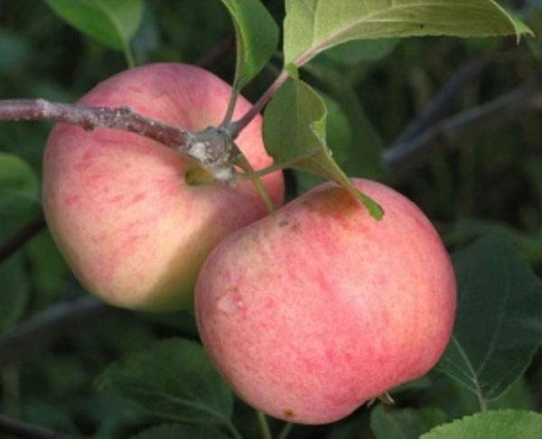 ВЭМ-сувенир Свердловские сорта яблонь