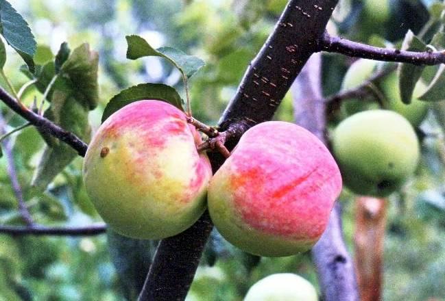 Ковровая сорта яблонь