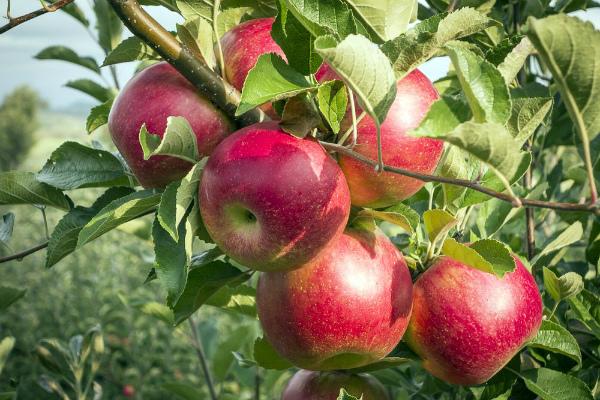 Серебряное копытце сорта яблонь