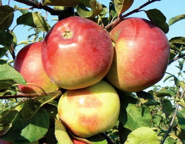 Краса Свердловска сорта яблонь