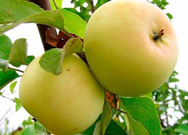 Исеть белая сорта яблонь
