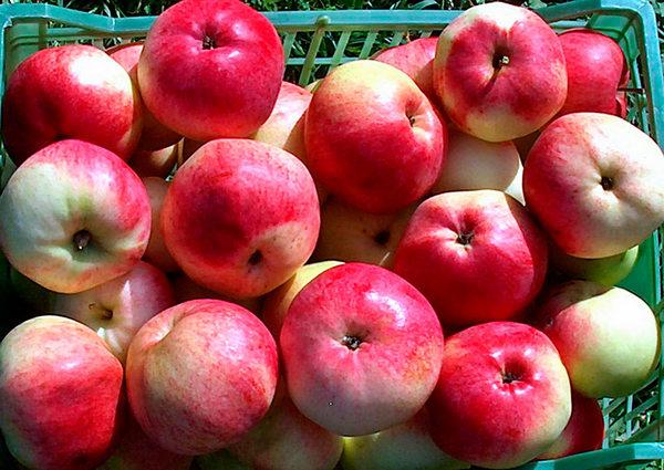 Румянка свердловская сорта яблонь