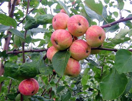 Уралец сорта яблонь