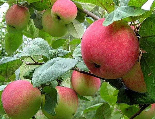 Уральское розовое сорта яблонь