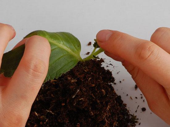 Размножение глоксиний листовыми черенками