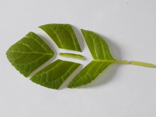 Размножение глоксиний фрагментами листа