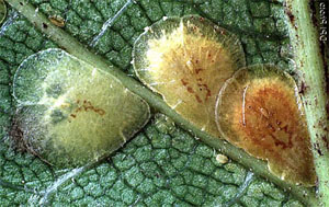 Щитовка. Щитовка на комнатных растениях. Coccidae. Diaspididae