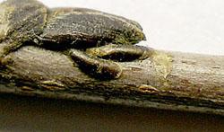 Щитовка на комнатных растениях. Coccidae. Diaspididae