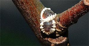 Войлочники. Gossyparia spuria