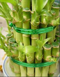 Счастливый бамбук или Драцена Сандера